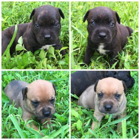 AKC English Staffordshire Bull Terrier puppies (purebred ...