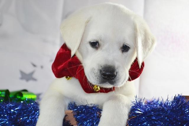 AKC ENGLISH WHITE LABRADOR ( LAB ) PUPPIES HEALTH