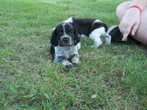 Roan Springer Spaniel Puppies For Sale - Goldenacresdogs com