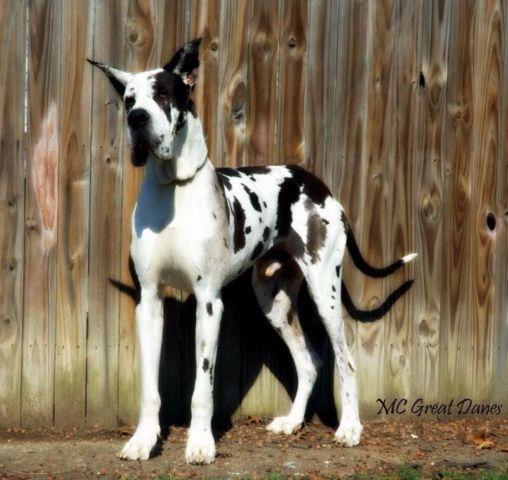 Akc European Great Dane Puppies For Sale In Bem Missouri Classified