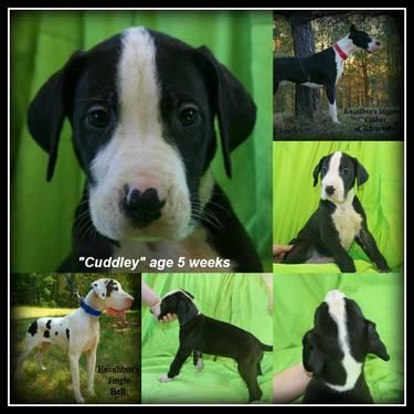 AKC Excalibur Line Euro Great Dane Puppy