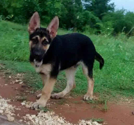 German Sheper For Sale In San Antonio Texas Classifieds Buy And