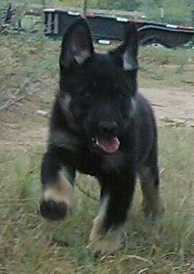 Akc Extra Large Straight Back German Shepherd Puppies For