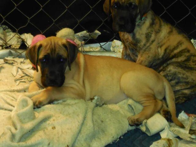AKC Fawn male Great Dane