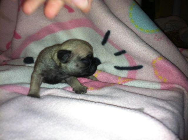 Akc Fawn Pug Puppies For Sale In Sebring Florida Classified