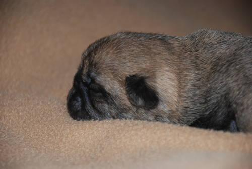 Akc Female Apricot Brindle Pug Puppy Quot Moose Quot For Sale In