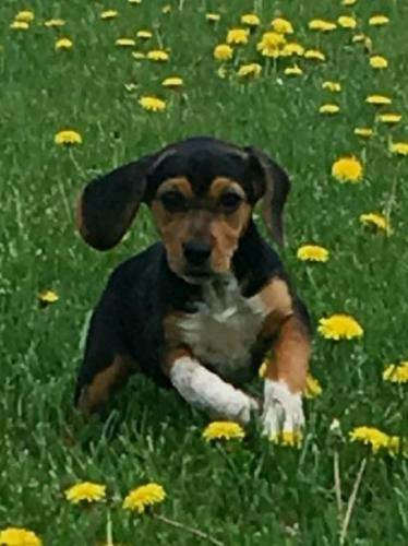 Akc Female Beagle Puppy For Sale In Imlay City Michigan Classified