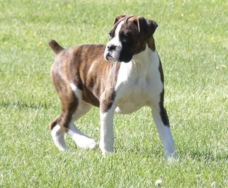 Boxer Puppies For Sale In Idaho Classifieds Buy And Sell In Idaho