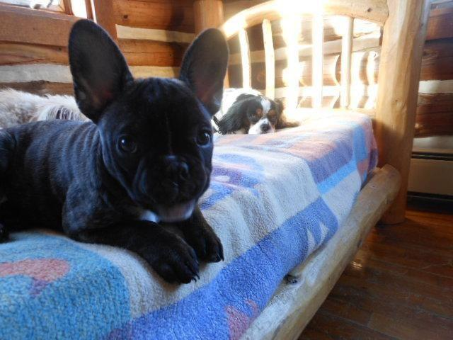 french bulldog puppies for sale in wisconsin akc female french bulldog puppies chion bloodlines 5137