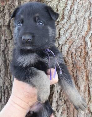 AKC FEMALE GERMAN SHEPHERD PUPPY