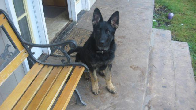 AKC Female Germen Shepherd 6 month old pup