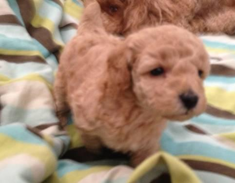 AKC Female Miniature Poodle Puppies