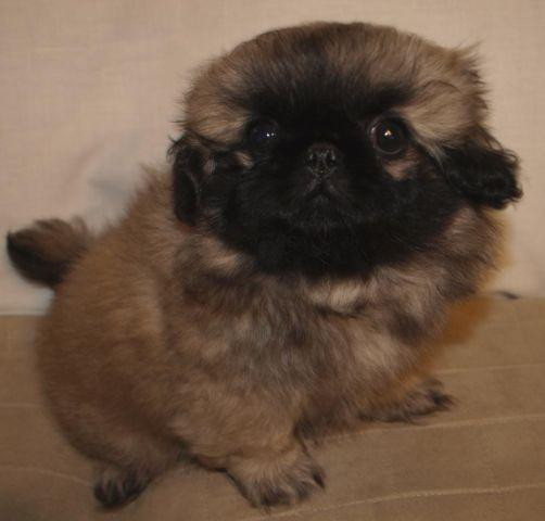 AKC female Pekingese puppy - Misty