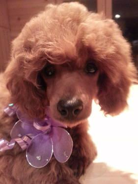 AKC Female Red Toy Poodle Puppy