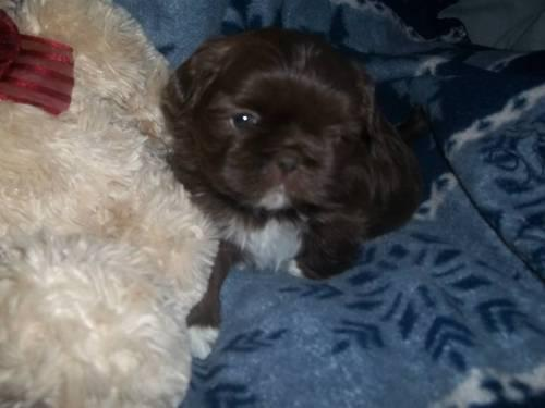 Akc Female Shih Tzu Liverchocolate Temp Name Of Honey Under 8