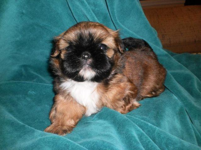 AKC Female Shih-Tzu puppy, 5 weeks old