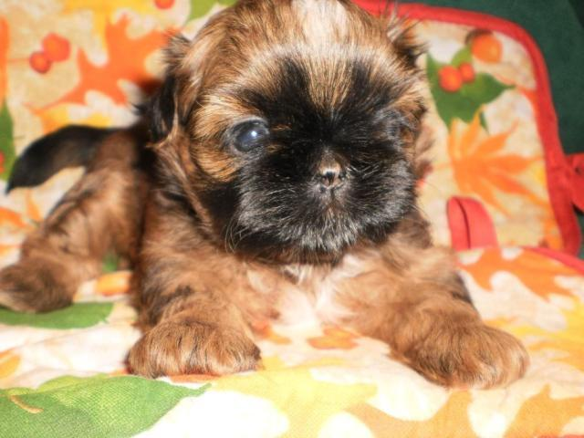 shih tzu breeders in tennessee akc female shih tzu puppy for sale in morristown 5794