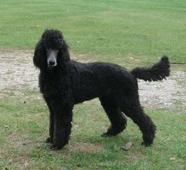 AKC Female Standard Poodle Puppies