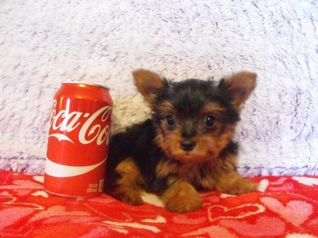 Akc Female Teacup Yorkshire Terrier Puppy Daisey 8 Weeks Old