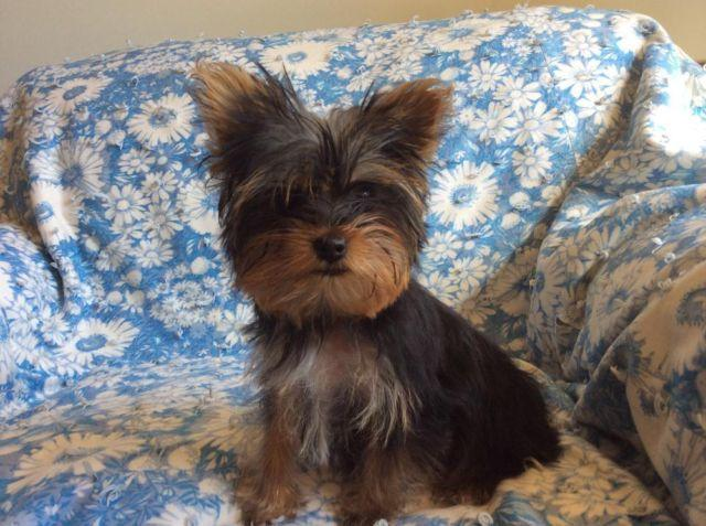 AKC Female Yorkshire Terrier(yorkie) with Ch Bloodlines