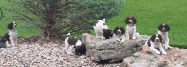 AKC Field Bred English Springer Spaniel Puppies - Champion