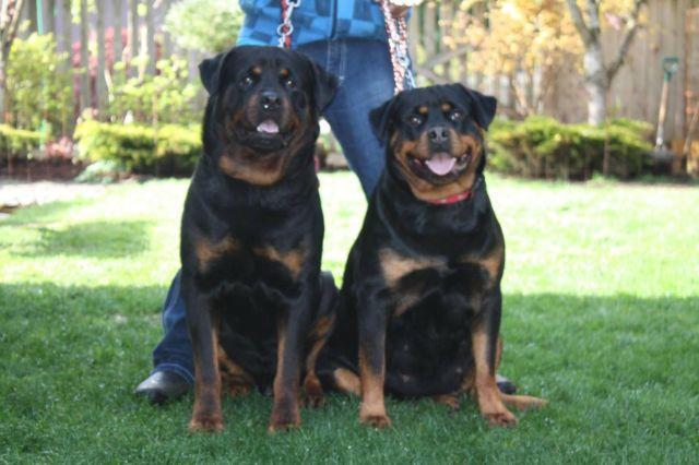 Dogue De Bordeaux Pets And Animals For Sale In Boston Harbor