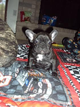 Akc French Bulldog For Sale In Kerrville Texas Classified