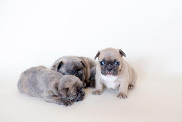french bulldog for sale in texas akc french bulldog puppies for sale in grapevine texas 5045