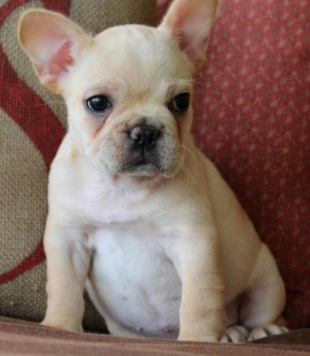 french bulldog puppies for sale in wisconsin akc french bulldog puppies for sale in milwaukee 5470