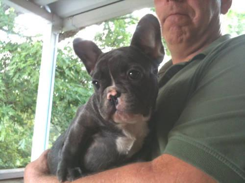 AKC French Bulldog Puppies Blue/Red Mahogany
