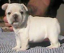 AKC FRENCH BULLDOG PUPPIES-NEW LITTER BORN 10/15/12