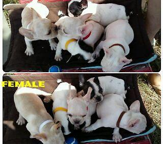 Akc French bulldog puppies ready now