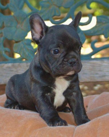 french bulldog puppies for sale in wisconsin akc french bulldog pups for sale in nekoosa wisconsin 1019