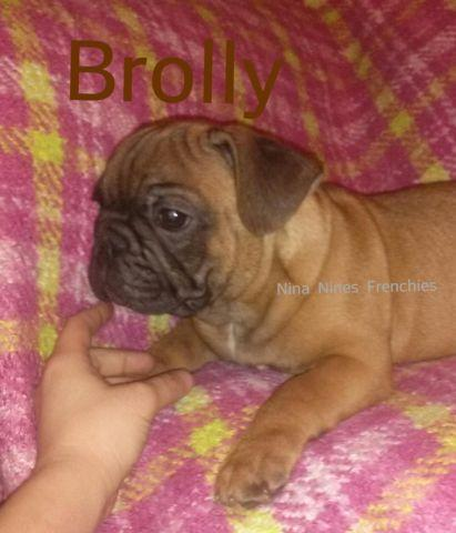 AKC French Bulldog Pups Easter Sale