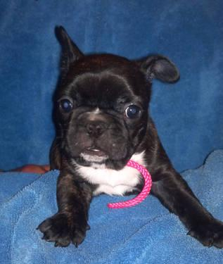 french bulldog puppies for sale in wisconsin akc french bulldogs for sale in lone rock wisconsin 5617