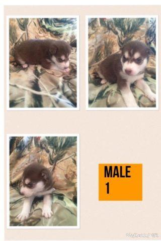 AKC Full Blooded Siberian Huskies