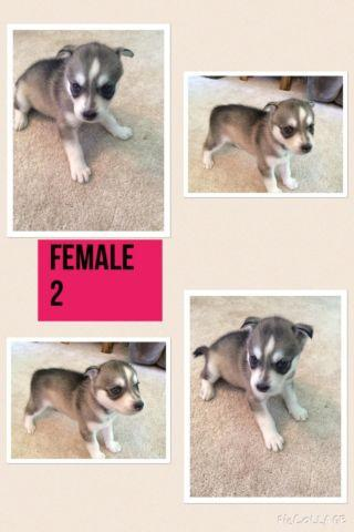 AKC Full Blooded Siberian Huskies Only 2 Left!