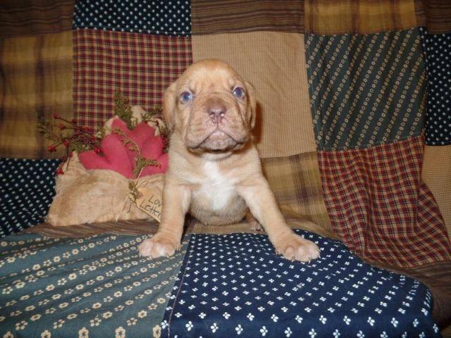AKC Full Registration Dogue De Bordeaux Champion