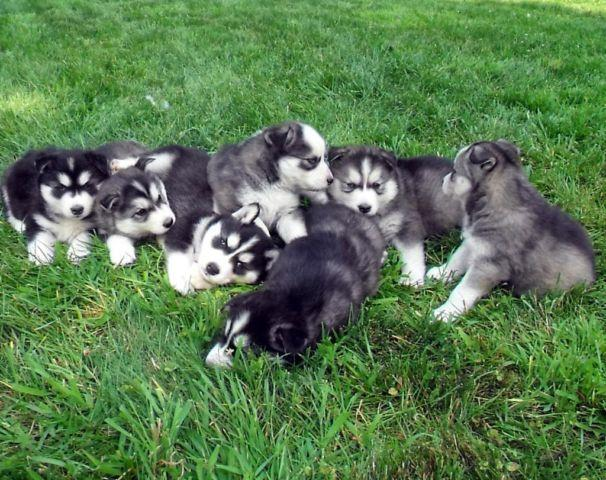 Free Puppies For Sale In Indiana Classifieds Buy And Sell In