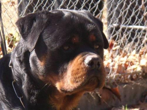 Akc German Rottweiler Adult Male For Sale In Houston Texas