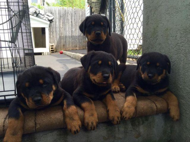 Akc German Rottweiler Puppies 9 Weeks Old For Sale In Brentwood