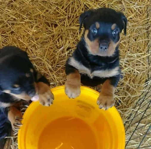 Akc German Rottweiler Puppies For Sale In Oklahoma City Oklahoma