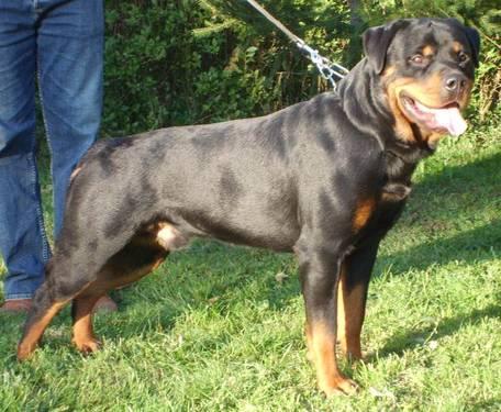 Akc German Rottweiler Puppies For Sale In Douglas Georgia