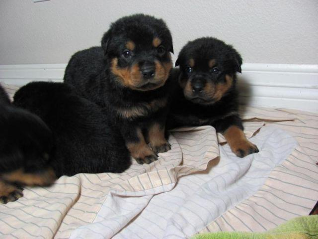 Akc German Rottweiler Puppies For Sale In Saint Louis Texas