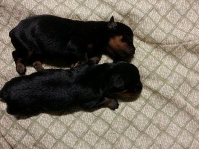 Akc German Rottweiler Puppies Available For Sale In Sacramento
