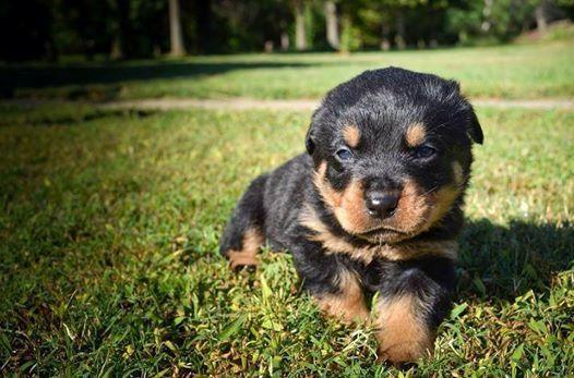 Akc German Rottweiler Puppies Champion Blood Ready For New Homes