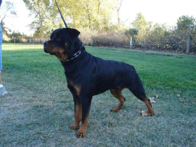 Akc German Rottweiler Puppies Coming Soon For Sale In Sacramento