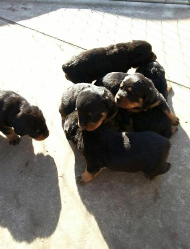 Akc German Rottweiler Puppies For Sale For Sale In Tulsa Oklahoma