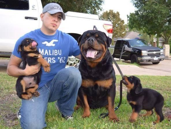 Akc German Rottweiler Pupps For Sale In Houston Texas Classified