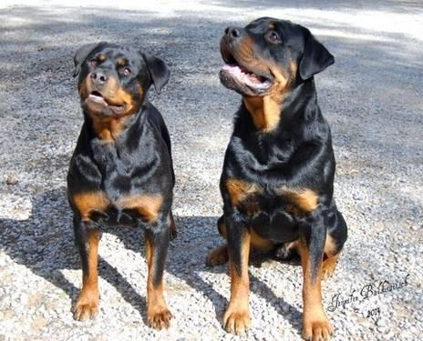 Akc German Rottweiler Pups For Sale In Redding California